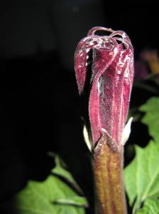 Angel Trumpet bud
