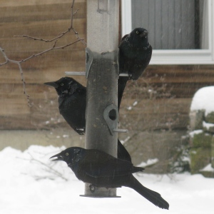 Unusual winter guests, these grackles practically cleaned out the cafe in the brief time they were here.